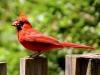 cardinal01