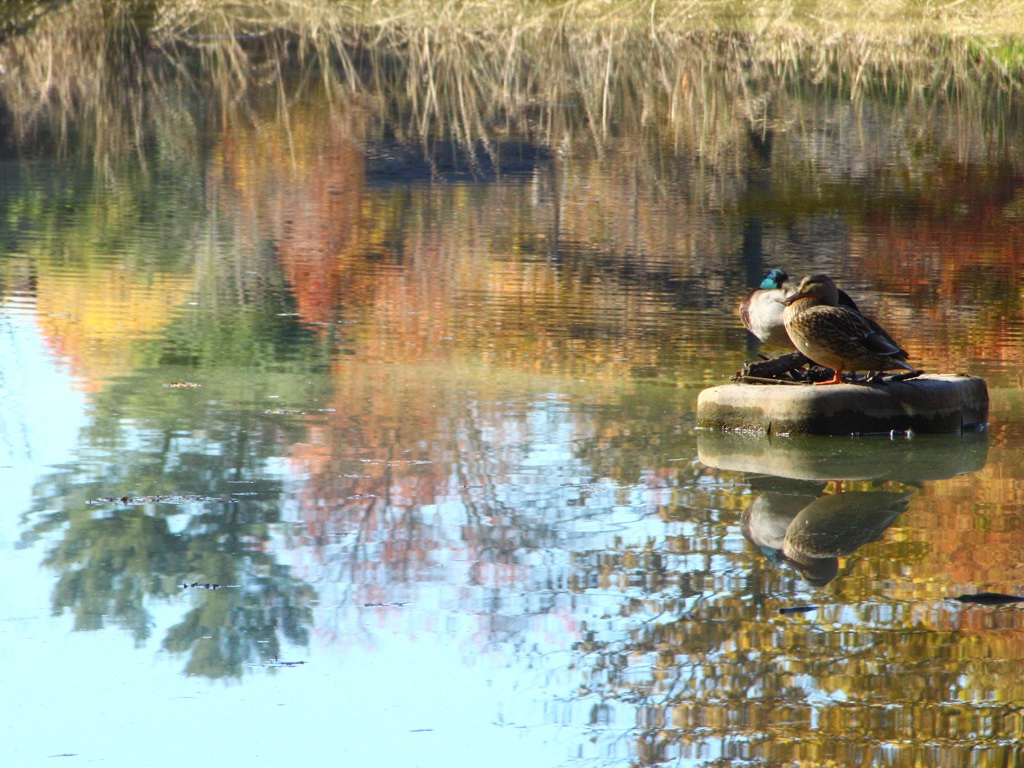 Nature - Ducks in Autumn pond
