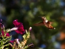 Nature - Hummingbird